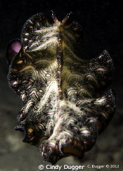 Persian Carpet Flatworm skirting away into the dark.  Tak... by Cindy Dugger